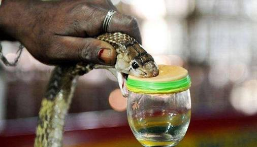 Photo - Snake venom extraction